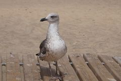 Gull at the beach. Of Costa Calma - Fuerteventura Stock Photo