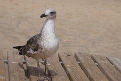 Gull at the beach. Of Costa Calma - Fuerteventura Stock Images