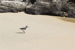 A Gull on the beach Royalty Free Stock Image