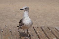 Gull at the beach. Of Costa Calma - Fuerteventura Stock Photos