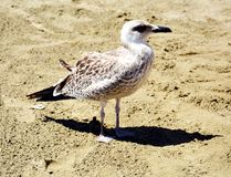 Gull on the beach. An  gull on the beach, on the sand, looking for something to eat, in Elba island, in Livorno , Italy, Europe Royalty Free Stock Photos