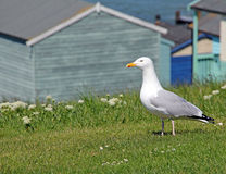 Gull and beach huts Royalty Free Stock Image