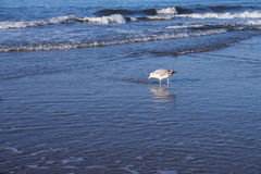 Gull at the beach Stock Photography