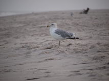 Gull at the beach Royalty Free Stock Photography