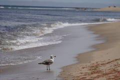 A gull on the beach. A single gull looks toward land on the beach Royalty Free Stock Images