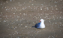 Gull at the beach Royalty Free Stock Photo