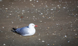 Gull at the beach Royalty Free Stock Image