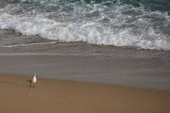 Gull at beach with wave beside stock images