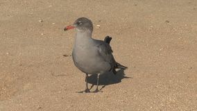 Gull at the beach Westcoast, California, United States stock footage