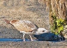 Gull bere immagini stock libere da diritti