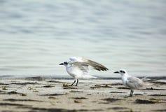 Gull-billed sternen Stock Afbeelding