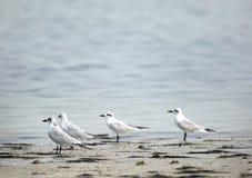 Gull-billed sternen Royalty-vrije Stock Foto
