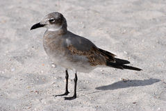 Gull-billed Tern. On the beach in Florida Royalty Free Stock Images
