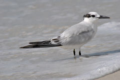 Gull-billed Tern. A Gull-billed Tern on a beach in Florida Royalty Free Stock Photo