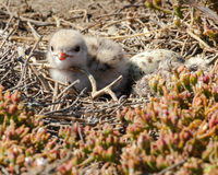 Gull-Billed Tern Chick Stock Photos