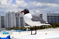 Gull-billed Tern Royalty Free Stock Photography