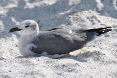 Gull-billed Tern. A Gull-billed Tern resting on the beach in Florida Stock Images