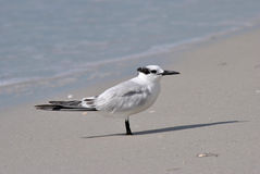 Gull-billed Tern. A Gull-billed Tern resting on the beach in Florida Royalty Free Stock Photo