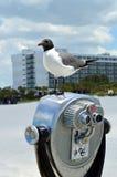 Gull-billed Tern Stock Image
