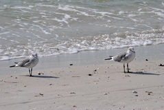 Gull-billed Terns. On the beach in Florida Stock Photography