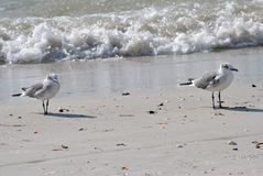 Gull-billed Terns. A Gull-billed Terns resting on the beach in Florida Royalty Free Stock Images