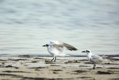 Gull-billed terns Stock Image
