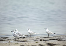 Gull-billed terns Royalty Free Stock Photo