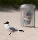 Gull bird on clean beach with trash bin. Seal Gull walking on a clean beach. Trash basket standing around. Clean Environment concept Stock Photography