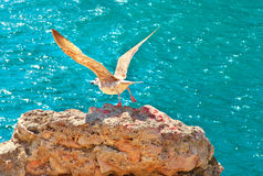 Gull Bird flying from rocky cliff outdoor with blue Sea on background Stock Image