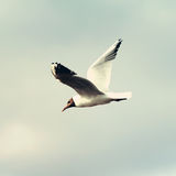 Gull bird flying in the sky Royalty Free Stock Images