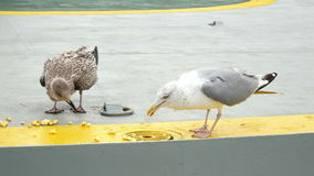 Gull bird sea eat food stock footage