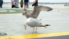 Gull bird sea eat food stock video footage
