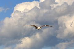Gull bird in sky Stock Photography