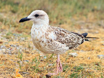 Gull Bird standing on grass outdoor close-up wild nature Stock Photo