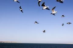 Gull birds flying over the ocean Stock Image
