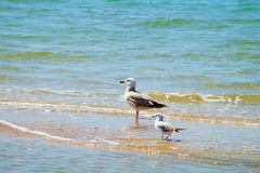 Gull. Birds  lake  gull  sea  Animals Royalty Free Stock Photo