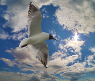 Gull with black head in blue sky Stock Photo