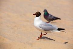 Gull Black headed Gull Royalty Free Stock Photo