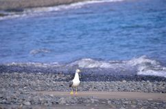 Gull on the black sand beach Royalty Free Stock Photos