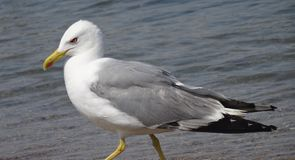 Angry seagull goes along the shore stock images