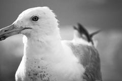 The Gull Royalty Free Stock Image