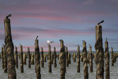 Gull on blue mussel piles. At the coast of Normandie in France against a sky of sunset Stock Photo