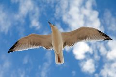 The gull in blue sky Royalty Free Stock Photography