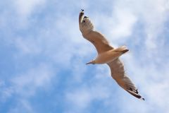 The gull in blue sky Stock Photo