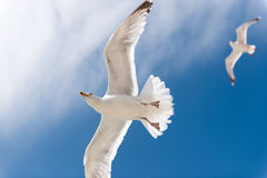 Gull in blue sky. 2 gulls with blue sky Royalty Free Stock Images