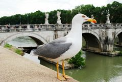 Gull on board ofTiber river in Rome city Royalty Free Stock Photo