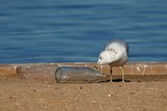 Gull with bottle Royalty Free Stock Photo
