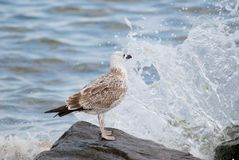 Gull on the boulder. Sea gull on the boulder with wave on background Stock Image