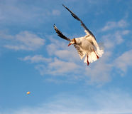 Gull and Breadcrumb. Seagull in the pursuit of bread crumb Stock Images