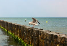 Gull on the breakwater of the Baltic Sea. Stock Photography